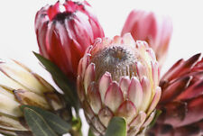 PROTEA FLOWERS * Large A3 Size QUALITY CANVAS  PRINT
