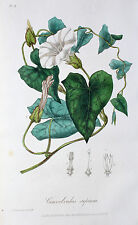 Convolvulus sepium vera RECINZIONE venti BINDWEED CALAMITATA RECINZIONE fioritura Belladonna