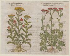 JOHN GERARD BOTANICA MATTHIOLI 1597 MILLEFOLIUM LUTEUM ACHILLEA FIORI FLOWERS