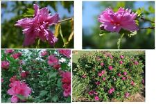 Double Fushia Rose of Sharon Bush Tree Shrub  Beautiful Flowers 10  Seeds