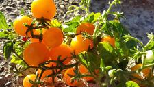 10 graines de tomate Venus Orange cherry ultra précoce...pot balcon terrasse