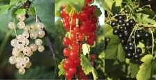 3 Mixed Currant Bushes - White, Red & Blackcurrant Bush, Multi-stemmed Plants