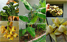 "SEEDS – Unusual Shape Musa ""Pitogo"" Banana, aka ""Fig Plantain"" – Grows 12 Feet!"