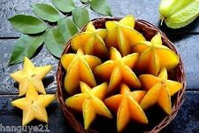 Star Fruit Seed Averrhoa Carambola Starfruit Exotic Seed Edible Heirloom Organic