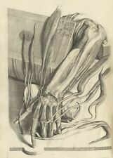 Muscles & Tendons, Arm, De Humani Corporis, 1685, Govert Bidloo, Anatomy Poster