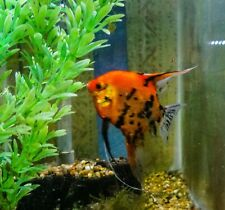 6 Koi Angelfish fish Locally Raised, Quarter Size or greater Body
