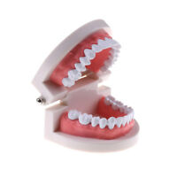 children Education oral teeth toy Dental tooth model Early  teaching model lc Pg