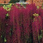5 Red Black Dragon Wisteria Seeds Vine Climbing Flower Perennial Flowers 116