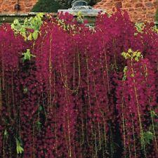 5 Black Dragon Wisteria Seeds Vine Climbing Flower Perennial Rare Tropical 678