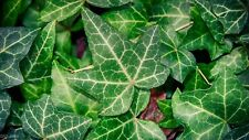 English Ivy Hedera Helix 10 Seeds (Free Us Shipping)