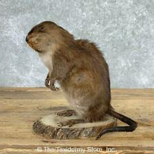 #22945 E | Muskrat Life-Size Taxidermy Mount
