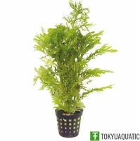 Hygrophila Difformis Water Wisteria Pot Freshwater Live Aquarium Tropical Plant
