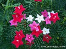 24+ Red,White,Pink MIXED CYPRESS Hummingbird VINE SEEDS Fern-like leaves.