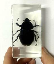 In Lucite Paperweight Crafts Ng Gothic Rhinoceros Beetle Insect Specimens