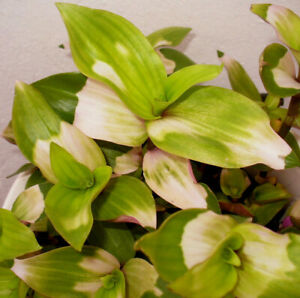 Tradescantia  Blushing Bride -  Hängepflanze  - 3 Ableger  Stecklinge - Rarität
