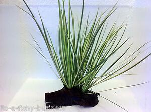 Acorus Gramineus Japanese Rush Bogwood Rare Live Aquatic Terrarium Plant UK