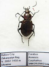 Carabus carabus arvensis carpathus (female A2) from UKRAINE
