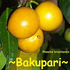 ~BAKUPARI~ Rheedia brasiliensis Brazil FRUIT TREE 2-3+ft Medium size Pot'd Plant