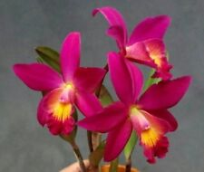 Orchid Cattleya. Chian Tzy Guiding ' Chain Tzy Red Top'