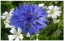 BLUE BACHELOR BUTTONS CORN FLOWERS 50  SEEDS  4 U TO PLANT IN SPRING