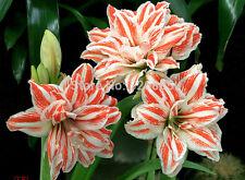Amaryllis seeped bulbs papillio - 2 pcs Amaryllis ball