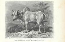 Stampa antica ZEBU' INDIANO Bos indicus 1896 Old Antique print