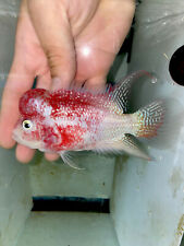 Fader Flowerhorn Male - 3 inches