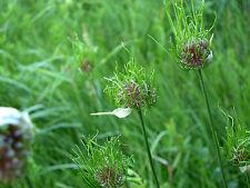 Weinberglauch 150 Samen Allium Vineale Weinberg Lauch