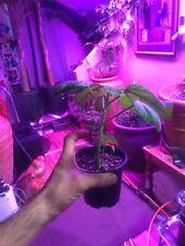 Dendrocnide moroides (Gympie Gympie) Suicide 1 Plant Seedling.