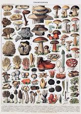 Mushroom - Champignon Chart - Illustration Poster