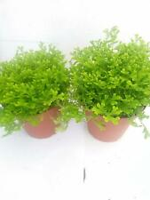 "Selaginella Frosty Fern Plants Two Live Plant Spike Moss Easy to Grow 2.5"" Pot"