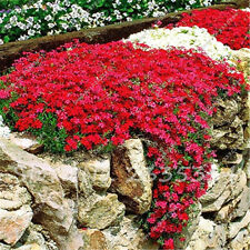 Trailing partial shade perennial flower plant seeds for sale ebay 50 aubrieta royal red rock cress perennial deer resistant flower seeds mightylinksfo