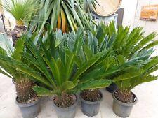 Plants Cycad Revoluta   300mm pots approx 90cm hgt x 1m wide  $160-ea  GORGEOUS