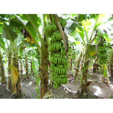 New listing Banana Fruit Live Plants Grand Nain Plant Four (4) Garden Outdoor Yard Best Gift