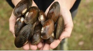 live freshwater mussels/clams (12+)