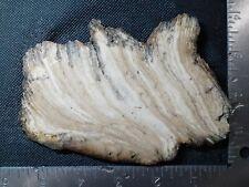 Stromatolite Fossil Slab