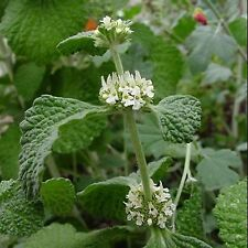 Horehound Herb Flower Seeds *