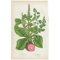 Anne Pratt Flowering Plants antique 1860 botanical print, Pl 175 Beet