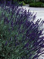 50 Lavandula Seeds Early Blue Scent ( Perennial ) Blue Lavender Seeds