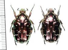 Cetoniinae:Protaetia ishigakia yonakuniana pair ,A1, unmounted,Japan,beetle