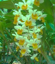 Dendrobium Thyrsiflorum Orchid Naturf. = géniale Singe + absolument blühfähig