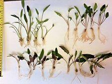 20 x Live Aquarium Aquatic Plants Mixed CRYPTOCORYNE - 4 species Cryptos ROOTED