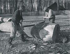 BUCHERONS c.1960 -  Sciage d'un Arbre en Tronçons - Div 5633