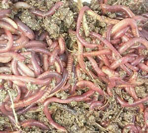 500 live California Red Worms