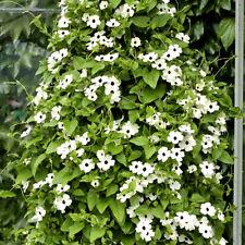 THUNBERGIA WHITE- BLACK EYED SUSAN - 12 seeds - VINE CLIMBING