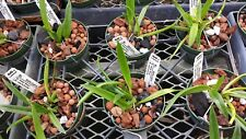 Orchid Blc Graf's Cuaima near spike exotic tropical plant