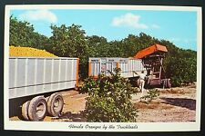 1961 Florida Harvest Dump Bin Loading Trucks in a Mid Winter Orange Grove