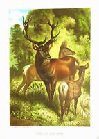 1885 Prang Chromo RED STAG DEER/ELK BUCK  Print! RARE and VERY NICE! L@@K!