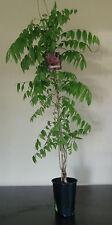 """Blauregen - Wisteria floribunda """"Rosea"""" 80-100 cm - Rosa"""