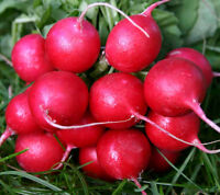 radish, CHERRY BELLE, white inside, EARLY variety, 23 DAYS, 180 seeds GroCo USA